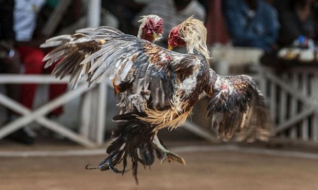Sabung Ayam Adu Ayam Sabung Ayam Online