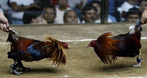 Tips Mudah Bergabung Di Situs Judi Sabung Ayam