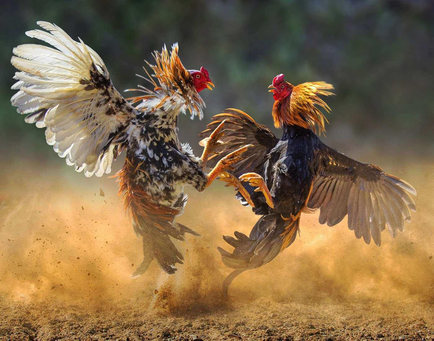 Daftar Sabung Ayam Online S128 Gratis