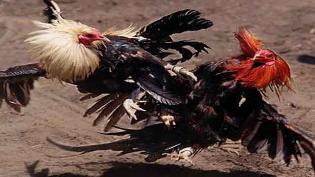 Ayam Sabung Judi Online